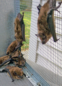 bat eviction service