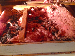 animal feces in attic