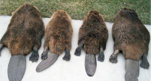 beaver, beavers in pond