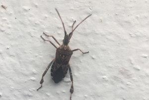 potato bug on wall