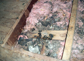 raccoon crap in attic