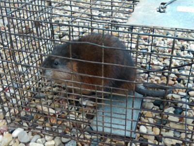 muskrat trapping