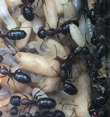 ant eggs larvae