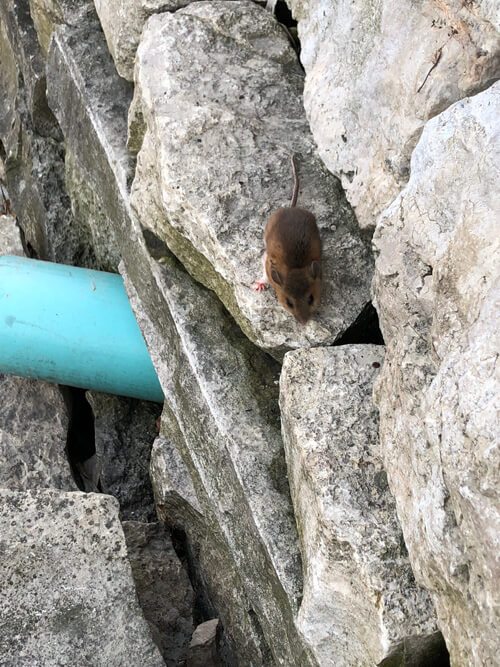 mouse on rocks