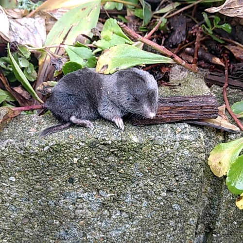 shrew mouse rodent