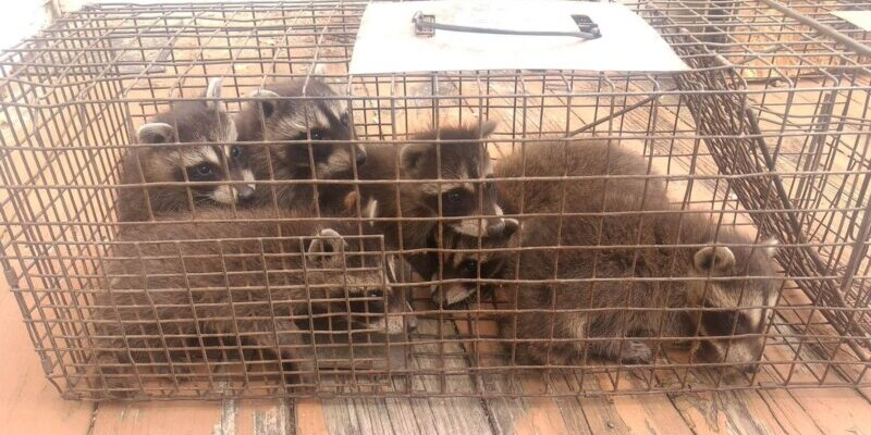 Several Baby Raccoons