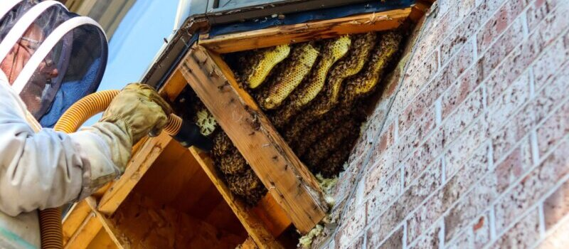Bee Keeper Removing a Massive Beehive