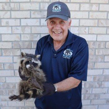 raccoon_paul1