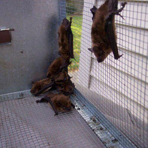 Bats in a Cage