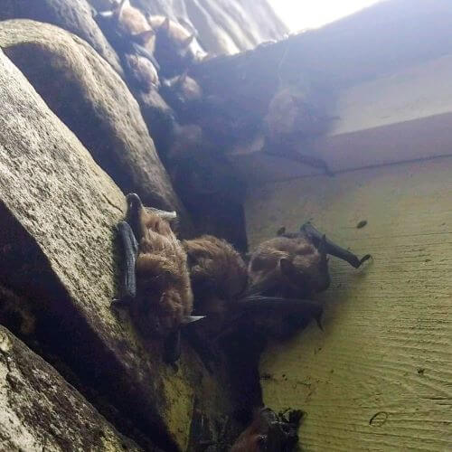 Bat Colony on Side of House