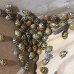 Asian Beetles in House