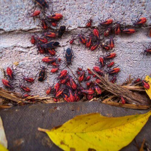 Box Elder Bugs Covering House