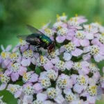 House Fly on a Flower
