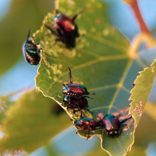 Japanese Beetles on Tree