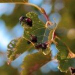 Japanese Beetles on Tree