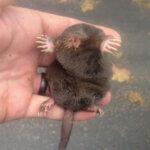 Animal Mole
