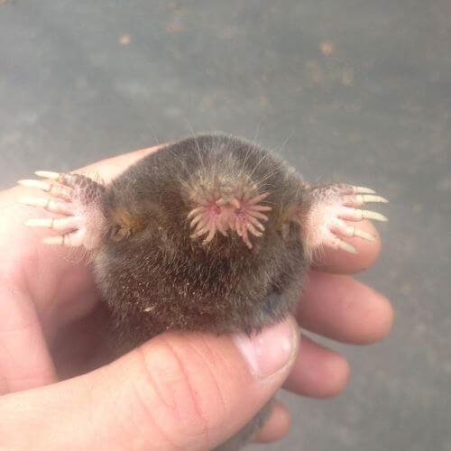 Close Up of a Mole