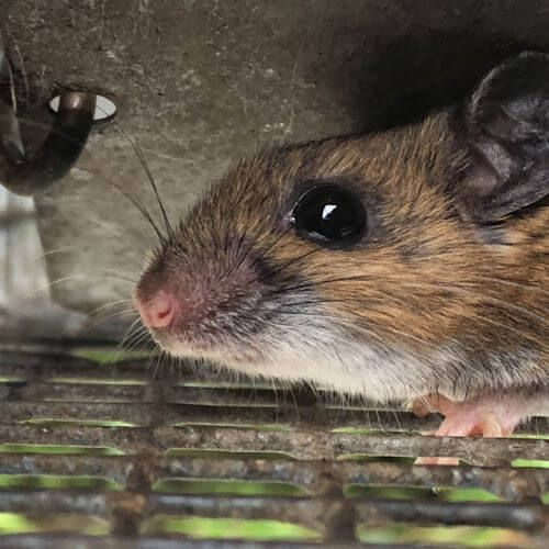 Close Up of Mouse