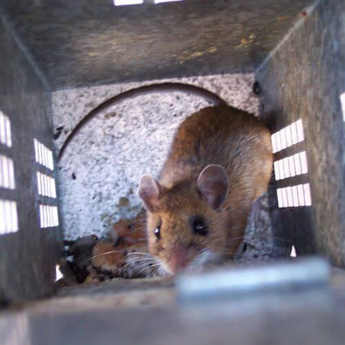 Mouse in a Cage
