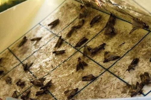 Pantry Moths in Glue Trap