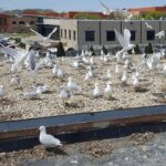 Colony of Seagulls on Roof Top