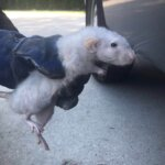 Big White Rat