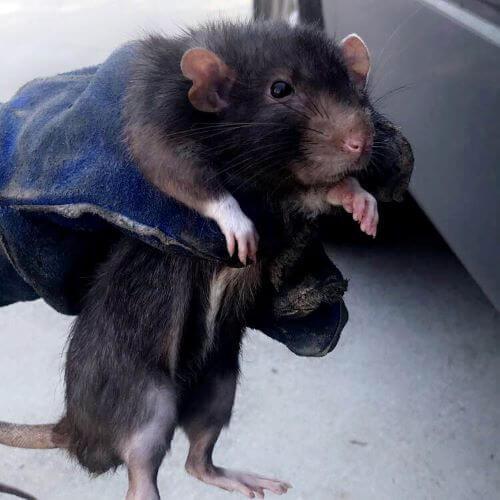 Big Black Rat