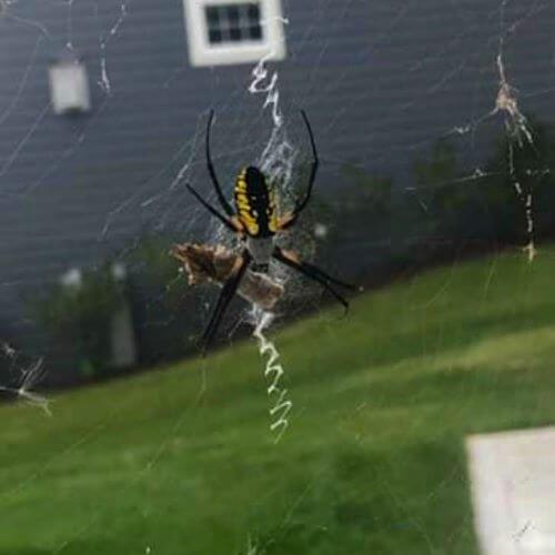 Zig Zag Spider on Web