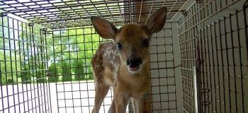 Baby Deer in a Cage