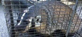 Badger in a Cage