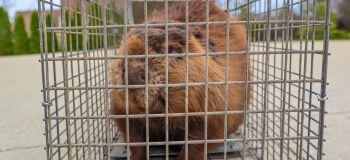 Beaver in a Cage