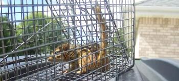 Chipmunk in a Cage