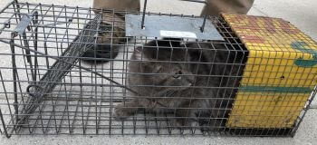 Feral Cat in a Cage