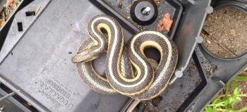 Garter Snake in a Bait Box