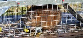 Muskrat in Cage