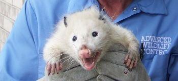 Paul Holding a Opossum