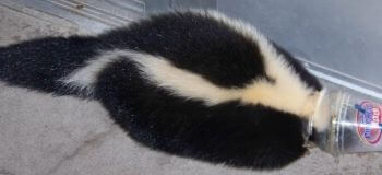 Skunk Stuck in a DQ Cup