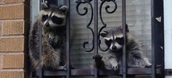 Two Baby Raccoons Chilling in a Window